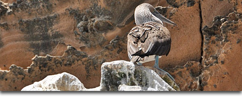 Blue Footed Boobie, Galapagos